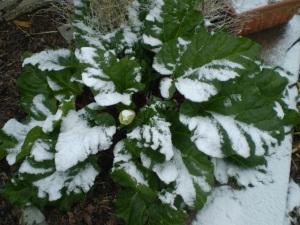 Rhubarb Fractal May 2014