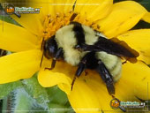 golden-northern-bumble-bee_2
