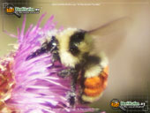 tricolored-bumble-bee